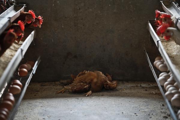 浙江省疾控中心透露,入秋以来,该省已累计报告人感染H7N9禽流感4例。 杨一 澎湃资料图