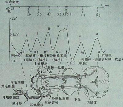 舌下伞襞结构图
