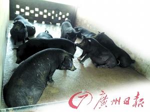 某品牌土猪吃完饲料便在猪栏里睡觉或站立。