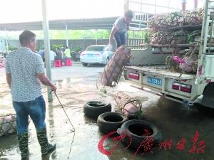 广州嘉禾畜禽买卖核心,卖主正在选猪。