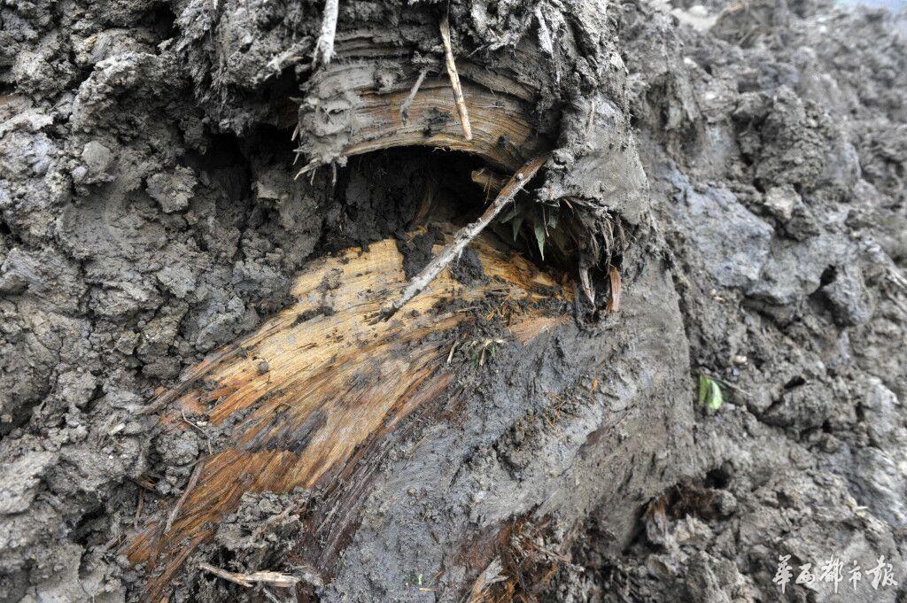 """本认为挖到了硬石头,没想到挖出的多是根千年乌木。11日清晨,崇州公议乡桤木河社区,有人在田间种树时,挖出一截呈彩色且质地较硬的""""大块头""""。本地乡民赶到田间围观,跟着""""大块头""""近20米长的真容被挖出,很多乡民猜想这根巨型木头多是千年乌木。"""