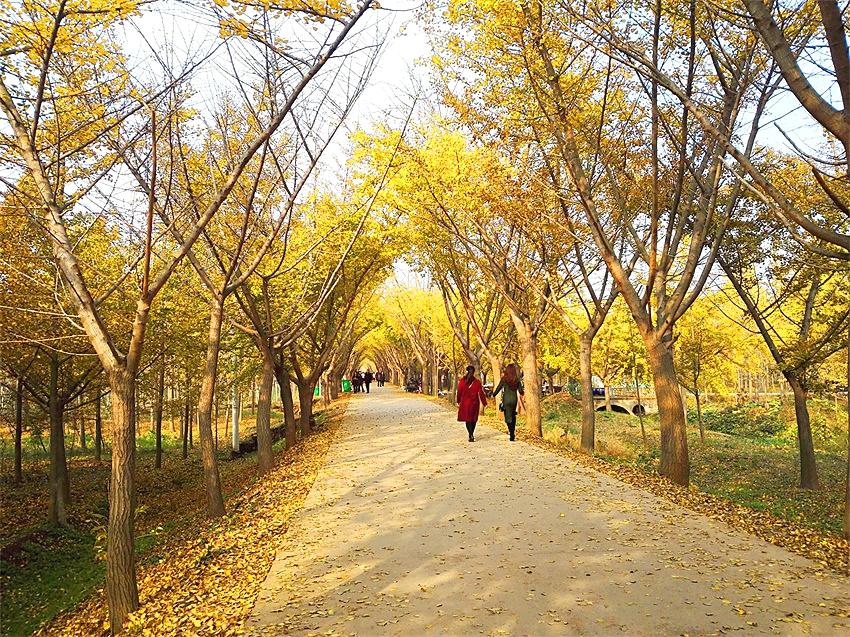 中国 银杏/中国最美银杏时光隧道。摄影/宾语