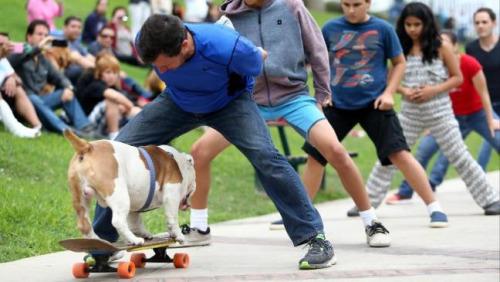 秘鲁一只4岁斗牛犬奥托踏着滑板从山上斜波滑下,成功穿过30个人的胯下。