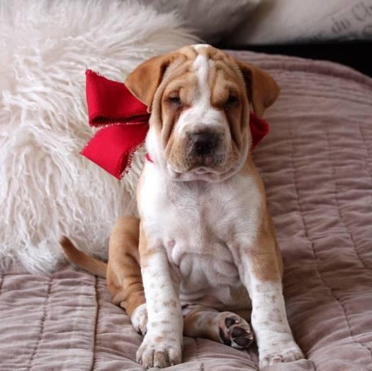 沙皮狗能看家吗_不同品种的狗能配种吗,生出来的狗会是什么样的?