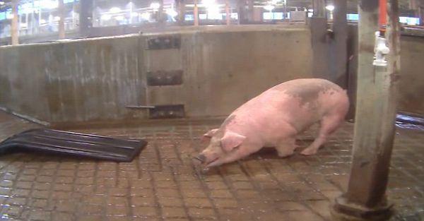 部分猪吓得身体颤抖。(图片来源:香港《明报》网站)