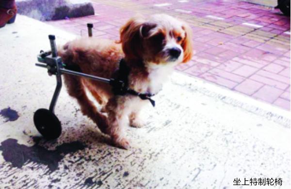 """合肥""""狗坚强""""坐轮椅撒欢跑 遭遇车祸保守治疗"""