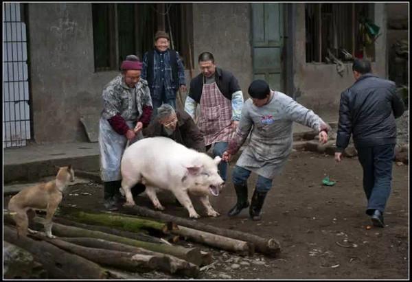 快过年了,利川农村杀年猪时的精彩对话!