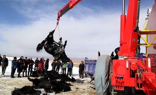 11月14日9时40分,青海省果洛藏族自治州东格措那湖冰面坍塌,一牧民家中22头牦牛坠入冰湖,消防胡匪破冰打捞。