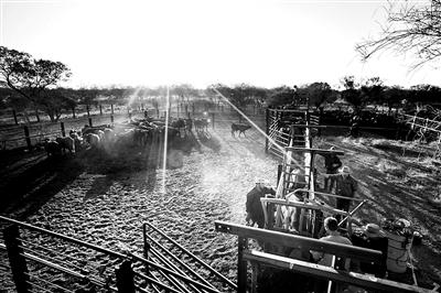 西澳大利亚牧场上分布的牛群 供图/CFP