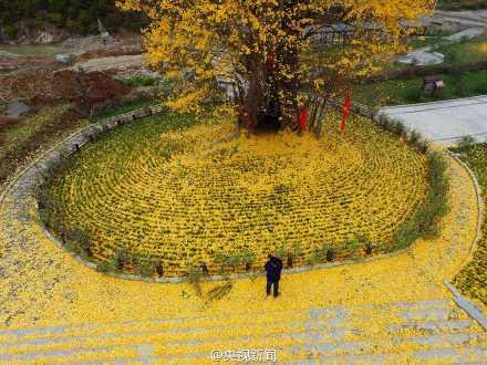 美翻了!陕西4000年古银杏落叶似黄金毯(图)