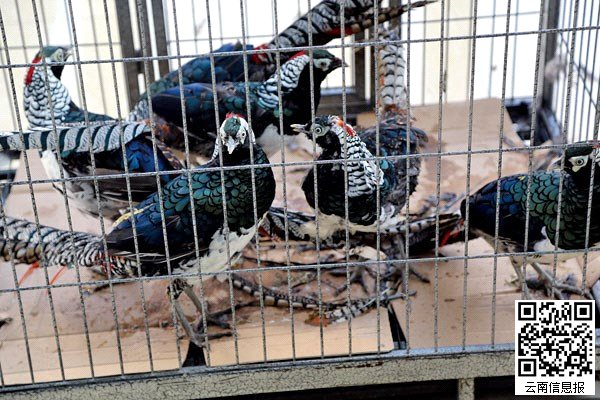 本报讯   昨日,昆明市森林公安局海口林区分局通报了一起非法出售国家二级重点保护野生动物白腹锦鸡案,查获白腹锦鸡6只,抓获犯罪嫌疑人1名。   10月10日是昆明市西山区海口镇中滩街的赶集日。接到举报赶到现场的昆明市森林公安局海口林区分局的两名便衣民警发现,市场中一个鸡笼旁挤满了围观者,笼子里有6只奇怪的野鸡,毛色十分漂亮。市民告诉民警,这笼野鸡叫庆鸡。但民警觉得这几只庆鸡疑似国家保护动物。随即拍下照片,传给同事鉴别,初步确为国家二级重点保护野生动物白腹锦鸡。但让人疑惑的是,鸡笼旁并没有贩卖者的