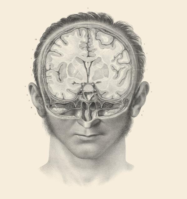 人类大脑的横切面