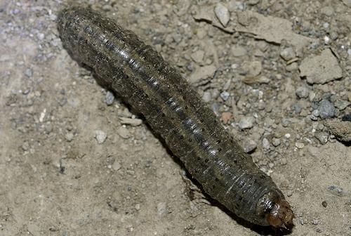 常见地下害虫种类及防治简介