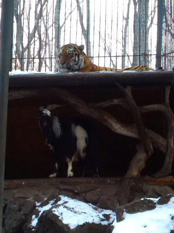 这只山羊占了山君的窝。山君只好让出本人的窝搬运到屋顶上住。(网页截图)