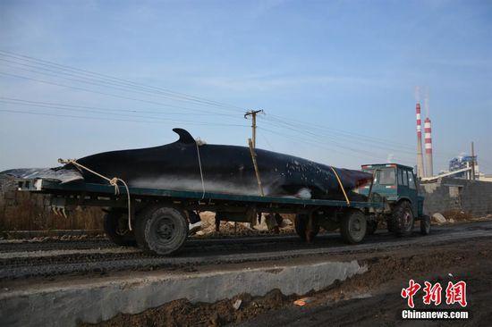 山东渔民出海遇死亡鲸鱼 用拖拉机运回(图)