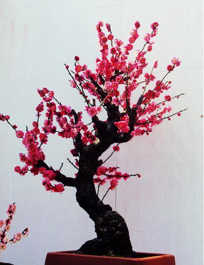 盆栽梅花的养护方法