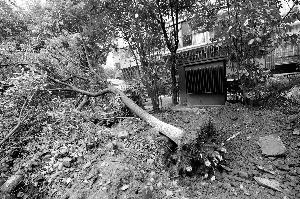 一棵香樟被连根砍断,倒在地上 现代快报记者 赵杰 摄