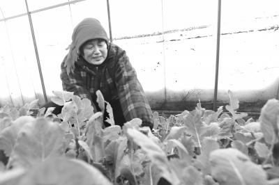 """11月30日,滑县八里营乡""""萝卜哥""""蔬菜种植基地,萝卜哥瓜菜种植农民专业合作社社员正在收割""""天樱""""野菜,精细包装后发往北京一家大型超市,这是该县实施普惠金融精准扶贫惠及农民的一个缩影。滑县农村信用联社实施普惠金融、精准扶贫工程以来,大力支持当地农民种植反季节蔬菜,发放专项扶贫资金一亿多元,使上万户菜农因此受益。"""