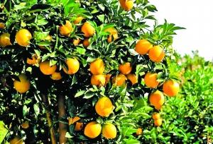 脐橙肉质脆嫩,橙香浓郁。