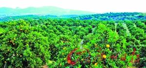 脐橙果园。