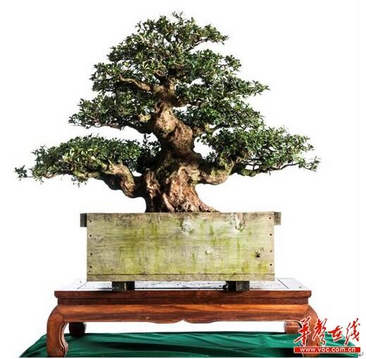 """日外国宝""""杜鹃王""""在国家湘潭首届国际杜鹃文明节表态"""