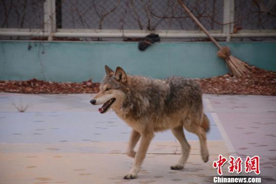 野狼在克拉玛依市一社区的篮球场晃荡