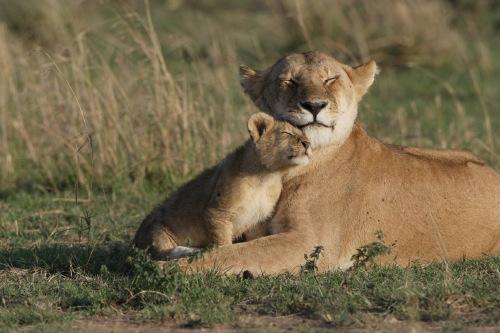 肯尼亚马赛马拉动物保护区的保护人员,6日早上看到部分狮子因不明原因昏倒及痉挛,第二天更发现Bibi及另一具被秃鹰啄食至无法辨认的狮子尸体,附近还有6只秃鹰尸体,因此他们怀疑狮子系中毒而死。此外,另一头狮子Sienna则在6日失踪。