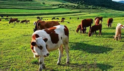 最赚的畜牧_澳大利亚奶牛