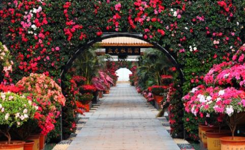 全球花瓣最大数目至多种类最全的杜鹃花均在湘潭盘龙杜鹃园