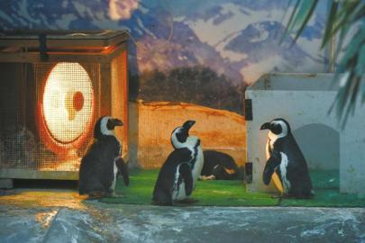 成都冷成啥样了 动物园的企鹅都在烤火了