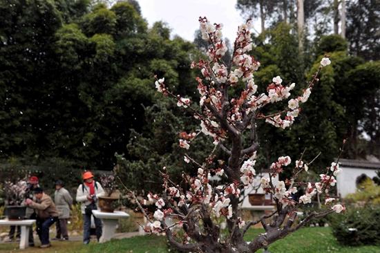 黑龙潭公园梅花展的梅花在风雪中绽放