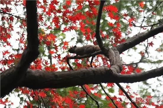 近日,杭州植物园里的槭树杜鹃专类园火红热闹,煞是喜人.