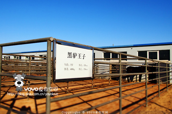 舍里_工人在干净的驴舍里,用拖拉机投放饲料.