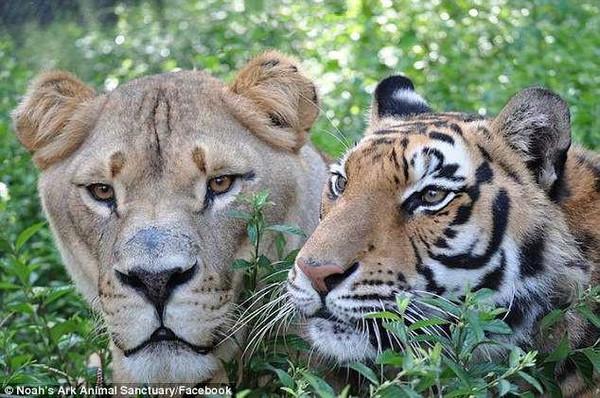 壁纸 动物 猫科 狮子 桌面 600_398