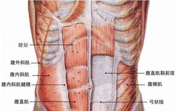 肋骨图片构造图解