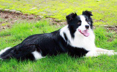 中国沙皮犬好养吗_边境牧羊犬好养吗_巨型犬好养吗