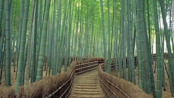第十二名:嵯峨野竹林图片