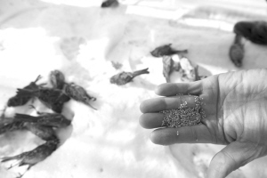 大爷晨练两天捡回19只死麻雀 市民纷纷猜测死因