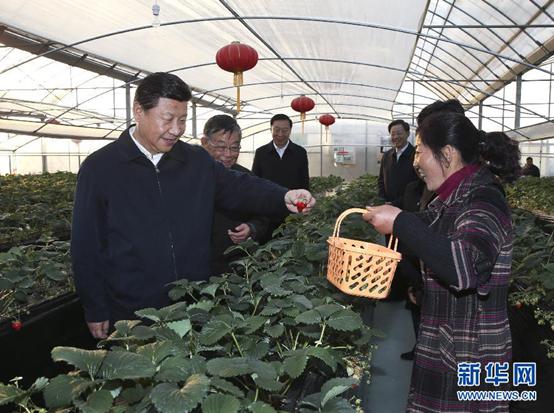 2014年12月13日下午,習近平在鎮江市丹徒區世業鎮先鋒村農業園草莓大棚,實地察看草莓生長情況。新華社記者 蘭紅光