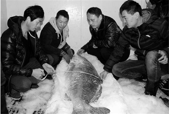 长1米69黄唇鱼现身浙江温岭 身价上百万元(图)