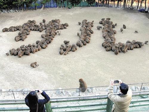 数百只山公摆出的猴年字样。