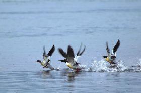 凌津滩至桃源水电站30多公里江段,几只中华秋沙鸭正在水面栖息。