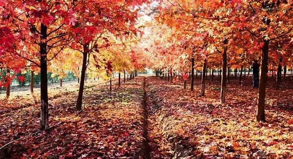 加拿大红枫林▼图片