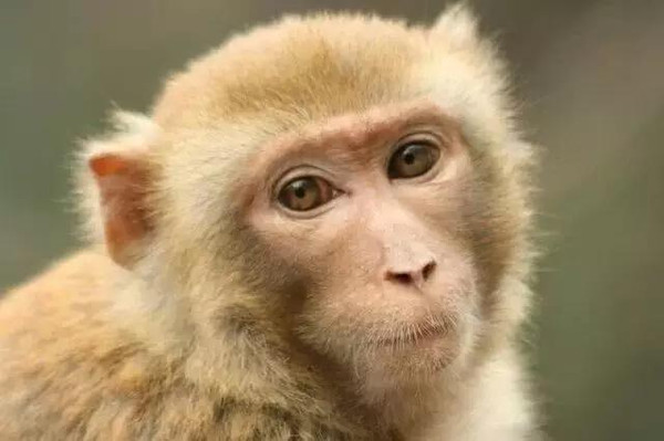 在重庆金佛山密林深处,猴子和人演绎了一个感人至深的故事.
