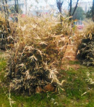 孝顺竹常绿_仅仅冷了几天 一些植物就受不了 夹竹桃 孝顺竹被冻枯了叶(图 ...