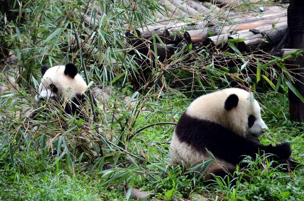 大熊猫生活的地方_熊猫的吃的食物_大熊猫生活的地方图片