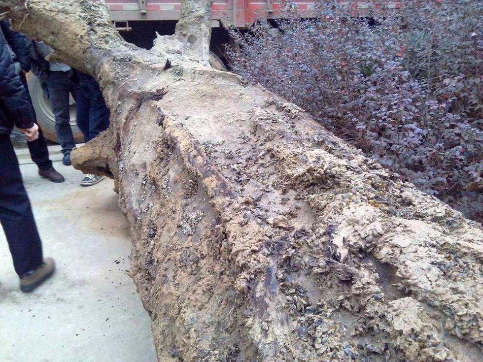 江西鄱阳湖挖出疑似巨型乌木 长7.2米重6吨(组图)图片