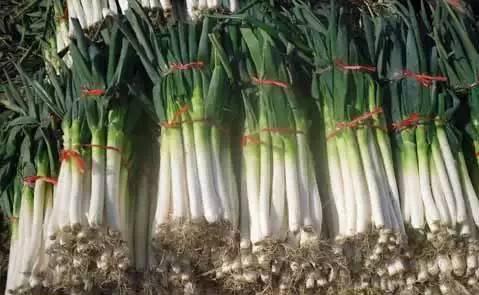 大葱施用有机肥的方法