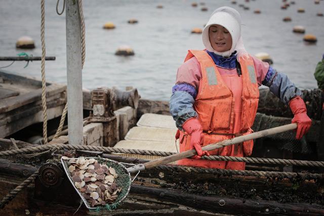 獐子岛扇贝育苗场,工人在将水中的扇苗捞出装船。CFP