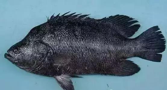 新娘鱼尹jf��_旅游 正文  俗名:皮刀 别名:红新娘,码头鱼,鹦哥鱼 常吃深海鱼可保护